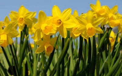 Narragansett's Daffodil Days