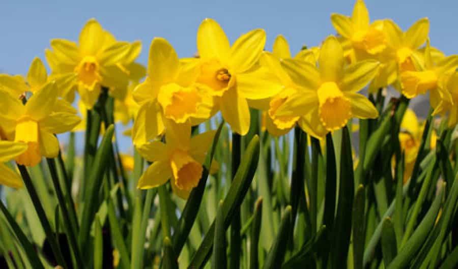 Narragansett's Daffodil Days